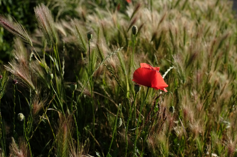 A beautiful roadside poppy. Beaujolais travel tips by White Caviar Life.